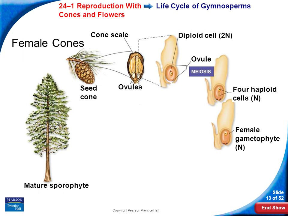 End Show Slide 13 of 52 24–1 Reproduction With Cones and Flowers Copyright Pearson Prentice Hall Life Cycle of Gymnosperms Female Cones Mature sporophyte Seed cone Cone scale Ovules Diploid cell (2N) Ovule Four haploid cells (N) Female gametophyte (N)