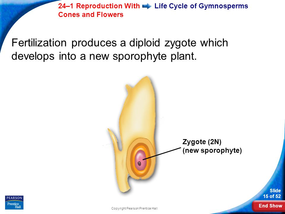 End Show Slide 15 of 52 24–1 Reproduction With Cones and Flowers Copyright Pearson Prentice Hall Life Cycle of Gymnosperms Fertilization produces a diploid zygote which develops into a new sporophyte plant.