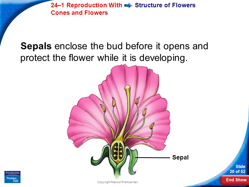 End Show Slide 20 of 52 24–1 Reproduction With Cones and Flowers Copyright Pearson Prentice Hall Structure of Flowers Sepals enclose the bud before it opens and protect the flower while it is developing.
