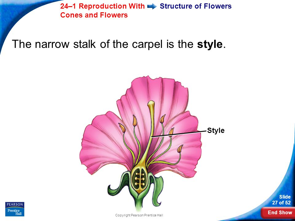 End Show Slide 27 of 52 24–1 Reproduction With Cones and Flowers Copyright Pearson Prentice Hall Structure of Flowers The narrow stalk of the carpel is the style.
