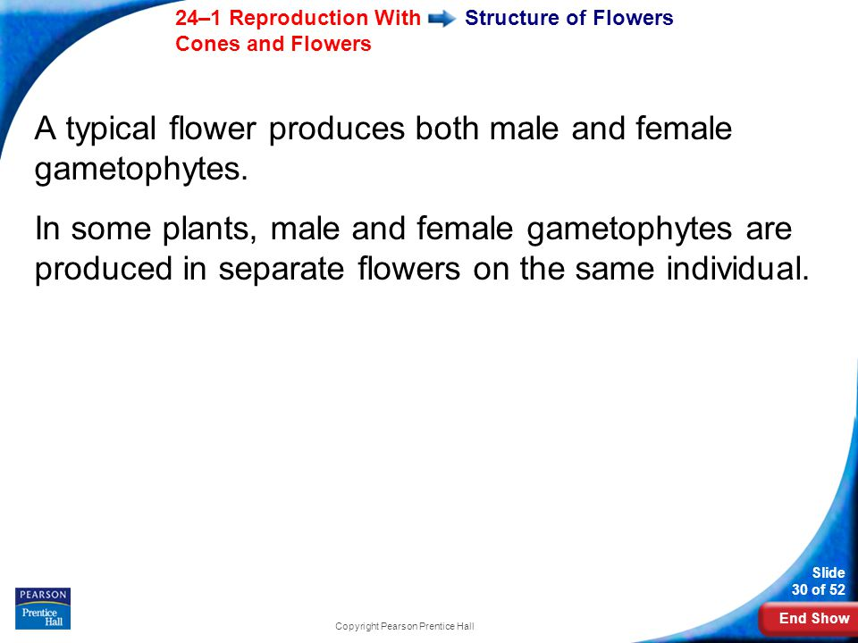 End Show Slide 30 of 52 24–1 Reproduction With Cones and Flowers Copyright Pearson Prentice Hall Structure of Flowers A typical flower produces both male and female gametophytes.