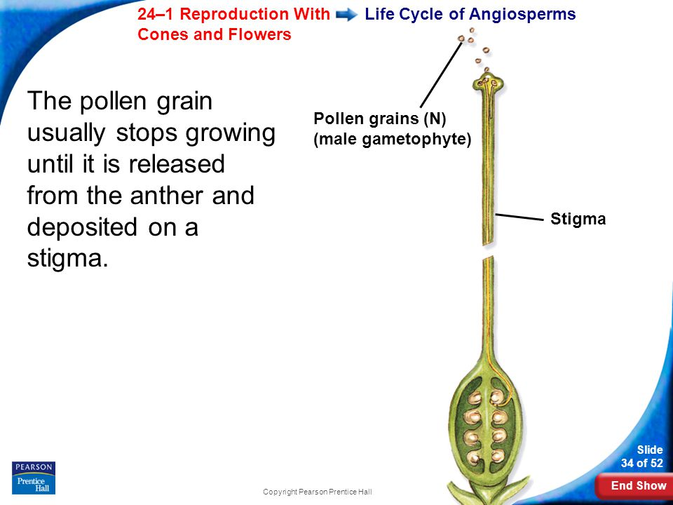 End Show Slide 34 of 52 24–1 Reproduction With Cones and Flowers Copyright Pearson Prentice Hall Life Cycle of Angiosperms The pollen grain usually stops growing until it is released from the anther and deposited on a stigma.