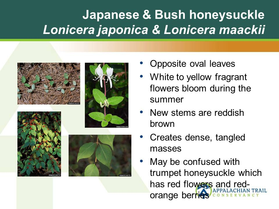 Japanese & Bush honeysuckle Lonicera japonica & Lonicera maackii Opposite oval leaves White to yellow fragrant flowers bloom during the summer New stems are reddish brown Creates dense, tangled masses May be confused with trumpet honeysuckle which has red flowers and red- orange berries