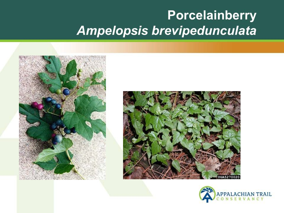 Porcelainberry Ampelopsis brevipedunculata