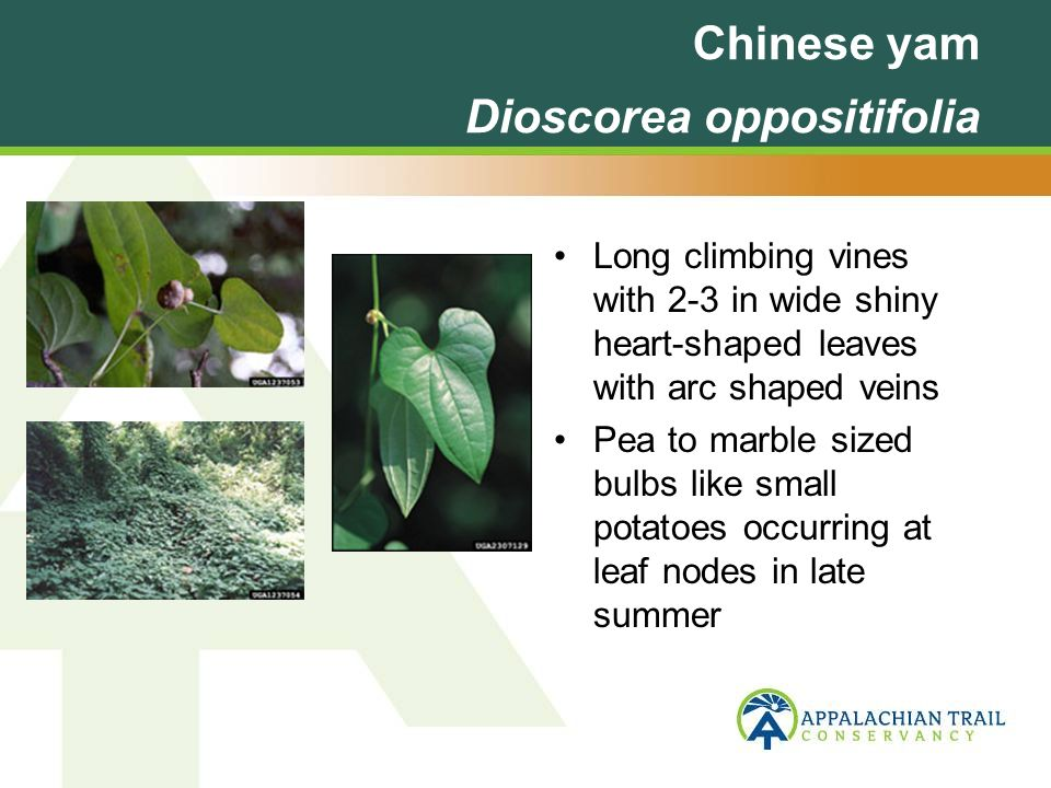 Chinese yam Dioscorea oppositifolia Long climbing vines with 2-3 in wide shiny heart-shaped leaves with arc shaped veins Pea to marble sized bulbs like small potatoes occurring at leaf nodes in late summer