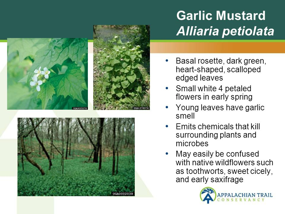 Garlic Mustard Alliaria petiolata Basal rosette, dark green, heart-shaped, scalloped edged leaves Small white 4 petaled flowers in early spring Young leaves have garlic smell Emits chemicals that kill surrounding plants and microbes May easily be confused with native wildflowers such as toothworts, sweet cicely, and early saxifrage