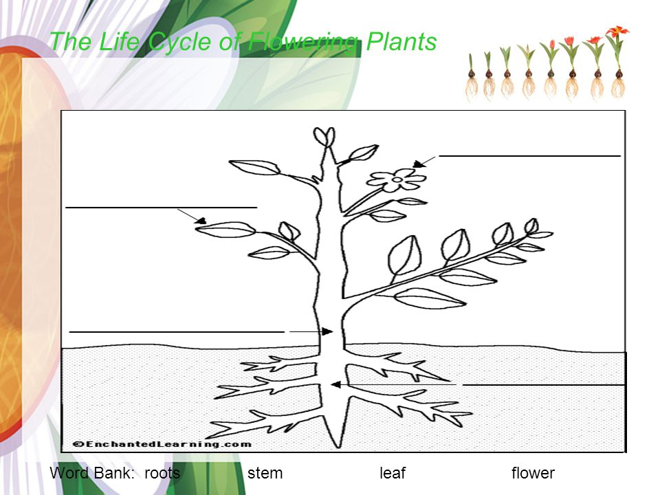 Plants Parts Word Bank: roots stemleafflower The Life Cycle of Flowering Plants