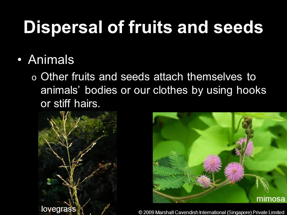 Dispersal of fruits and seeds Animals o Other fruits and seeds attach themselves to animals bodies or our clothes by using hooks or stiff hairs. mimos