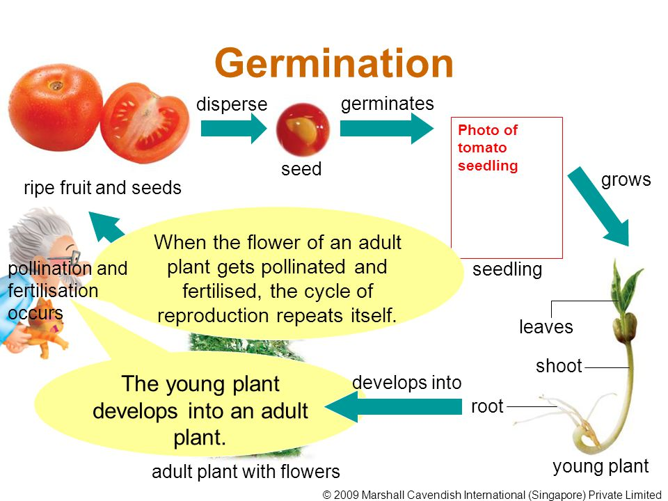 Germination The young plant develops into an adult plant. ripe fruit and seeds disperse seed germinates Photo of tomato seedling young plant leaves sh