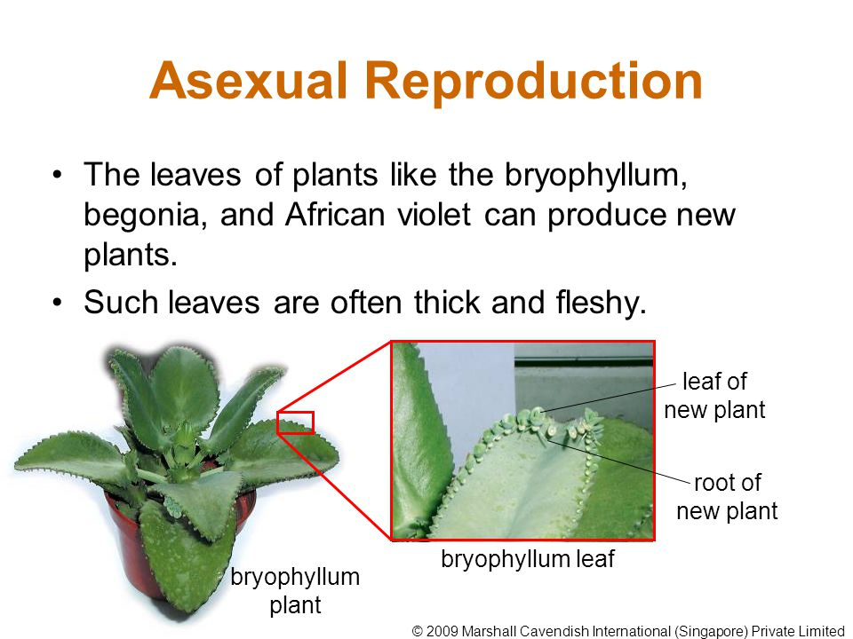 Asexual Reproduction The leaves of plants like the bryophyllum, begonia, and African violet can produce new plants. Such leaves are often thick and fl