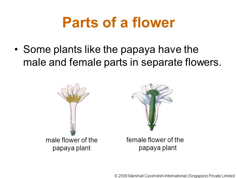 Parts of a flower Some plants like the papaya have the male and female parts in separate flowers. male flower of the papaya plant female flower of the