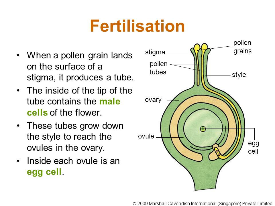 Fertilisation When a pollen grain lands on the surface of a stigma, it produces a tube. The inside of the tip of the tube contains the male cells of t