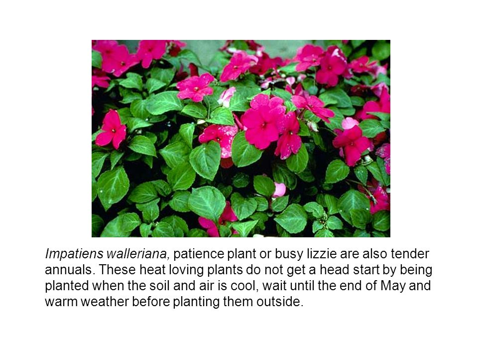 Impatiens walleriana, patience plant or busy lizzie are also tender annuals. These heat loving plants do not get a head start by being planted when th