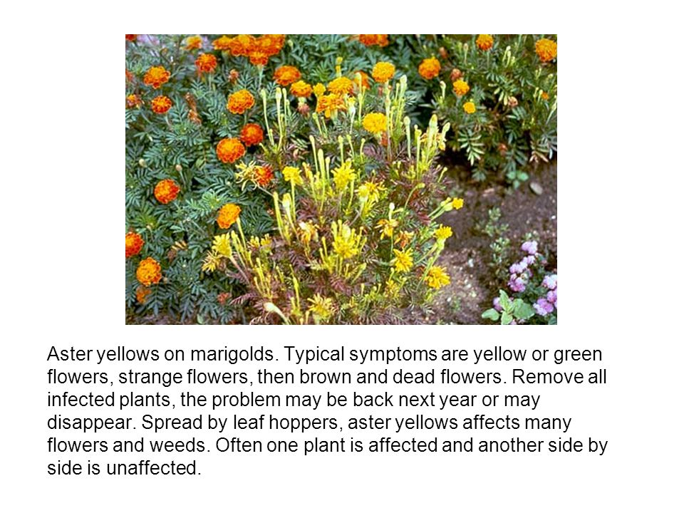 Aster yellows on marigolds. Typical symptoms are yellow or green flowers, strange flowers, then brown and dead flowers. Remove all infected plants, th