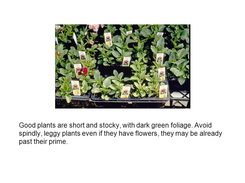 Good plants are short and stocky, with dark green foliage. Avoid spindly, leggy plants even if they have flowers, they may be already past their prime