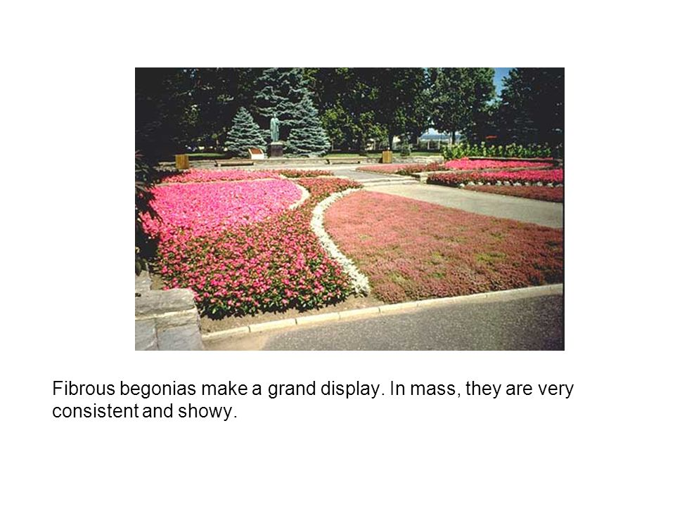 Fibrous begonias make a grand display. In mass, they are very consistent and showy.