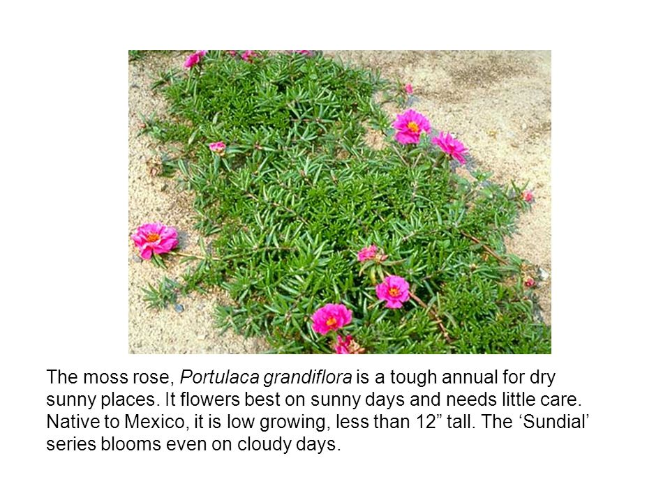 The moss rose, Portulaca grandiflora is a tough annual for dry sunny places. It flowers best on sunny days and needs little care. Native to Mexico, it