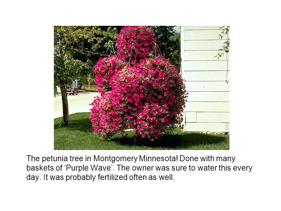 The petunia tree in Montgomery Minnesota! Done with many baskets of Purple Wave. The owner was sure to water this every day. It was probably fertilize