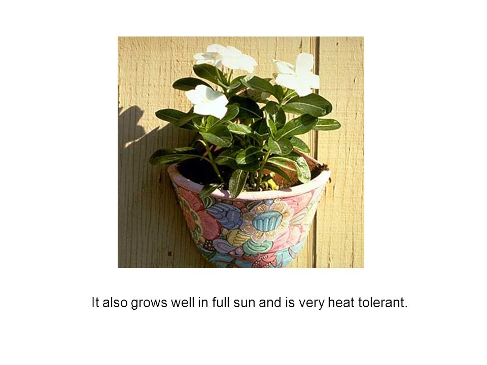 It also grows well in full sun and is very heat tolerant.