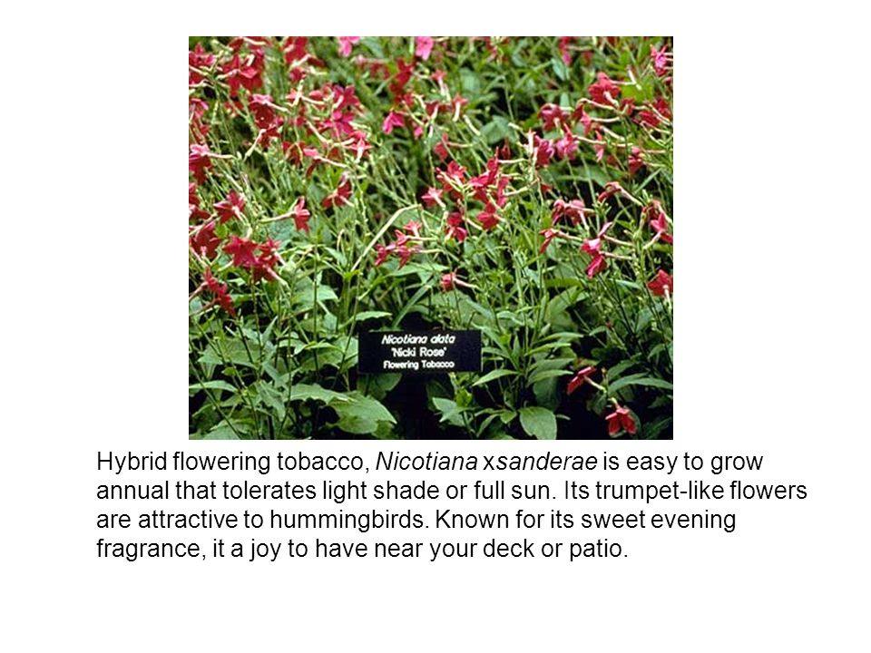 Hybrid flowering tobacco, Nicotiana xsanderae is easy to grow annual that tolerates light shade or full sun. Its trumpet-like flowers are attractive t