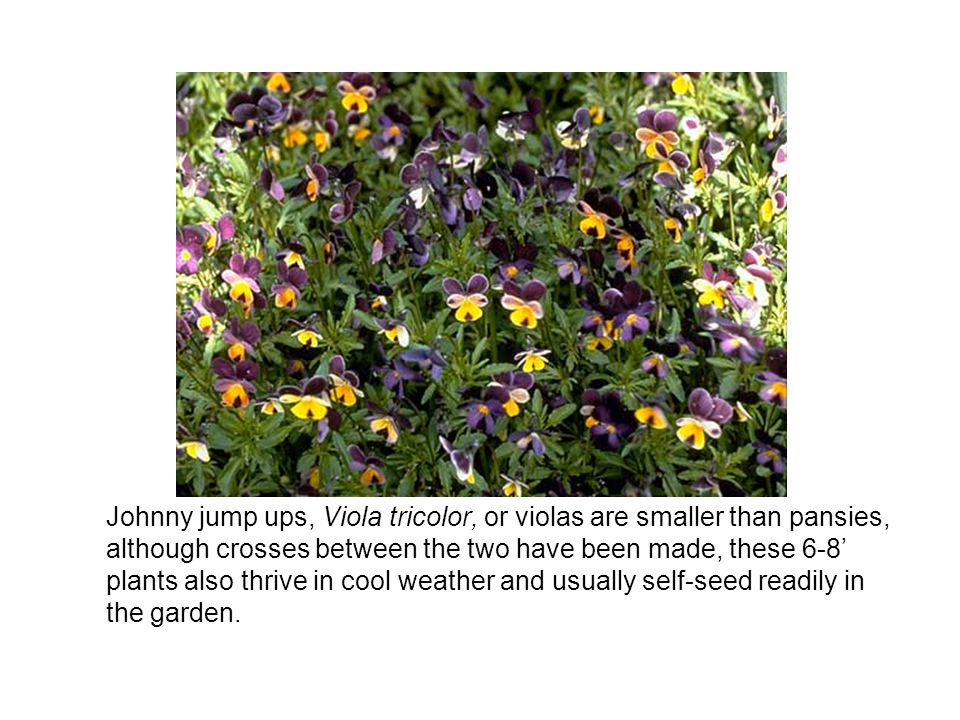 Johnny jump ups, Viola tricolor, or violas are smaller than pansies, although crosses between the two have been made, these 6-8 plants also thrive in