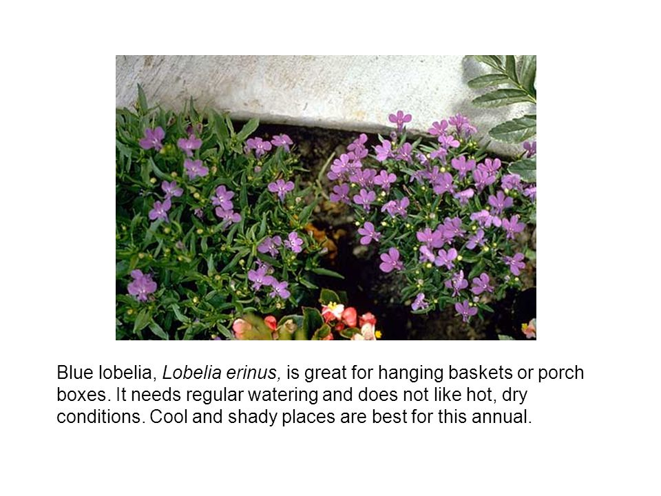 Blue lobelia, Lobelia erinus, is great for hanging baskets or porch boxes. It needs regular watering and does not like hot, dry conditions. Cool and s