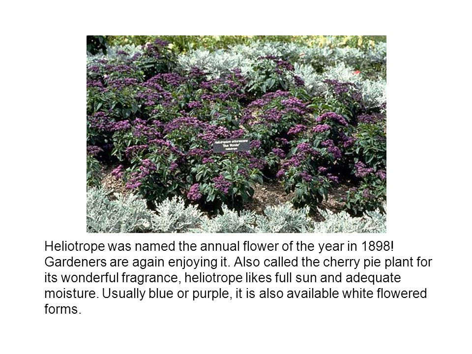 Heliotrope was named the annual flower of the year in 1898! Gardeners are again enjoying it. Also called the cherry pie plant for its wonderful fragra