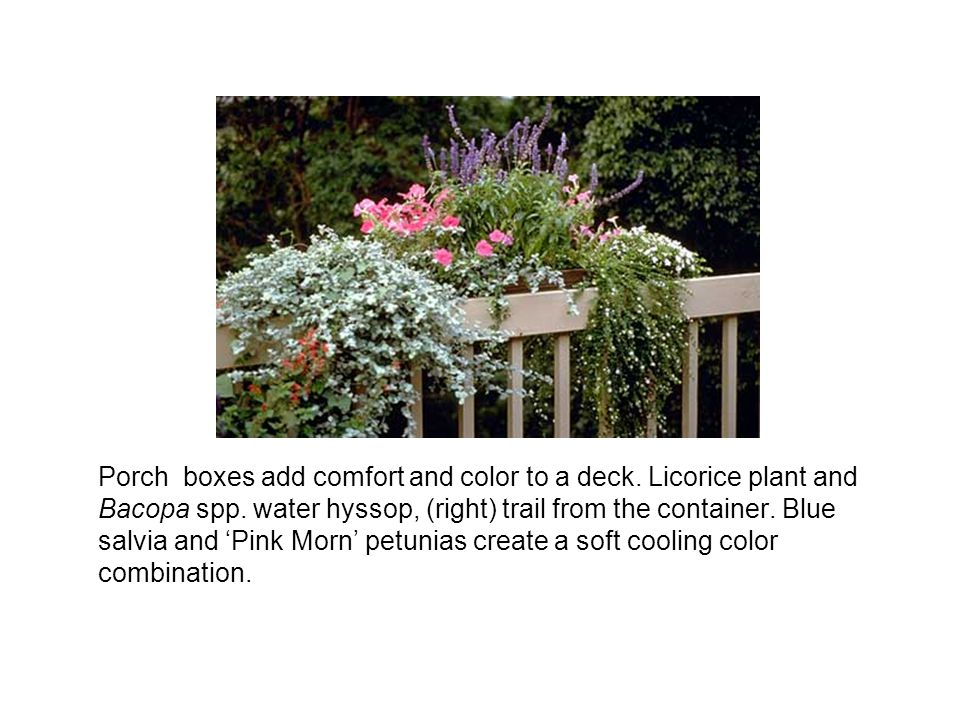 Porch boxes add comfort and color to a deck. Licorice plant and Bacopa spp. water hyssop, (right) trail from the container. Blue salvia and Pink Morn