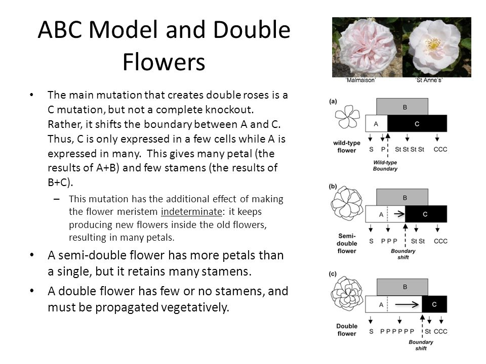 ABC Model and Double Flowers The main mutation that creates double roses is a C mutation, but not a complete knockout.