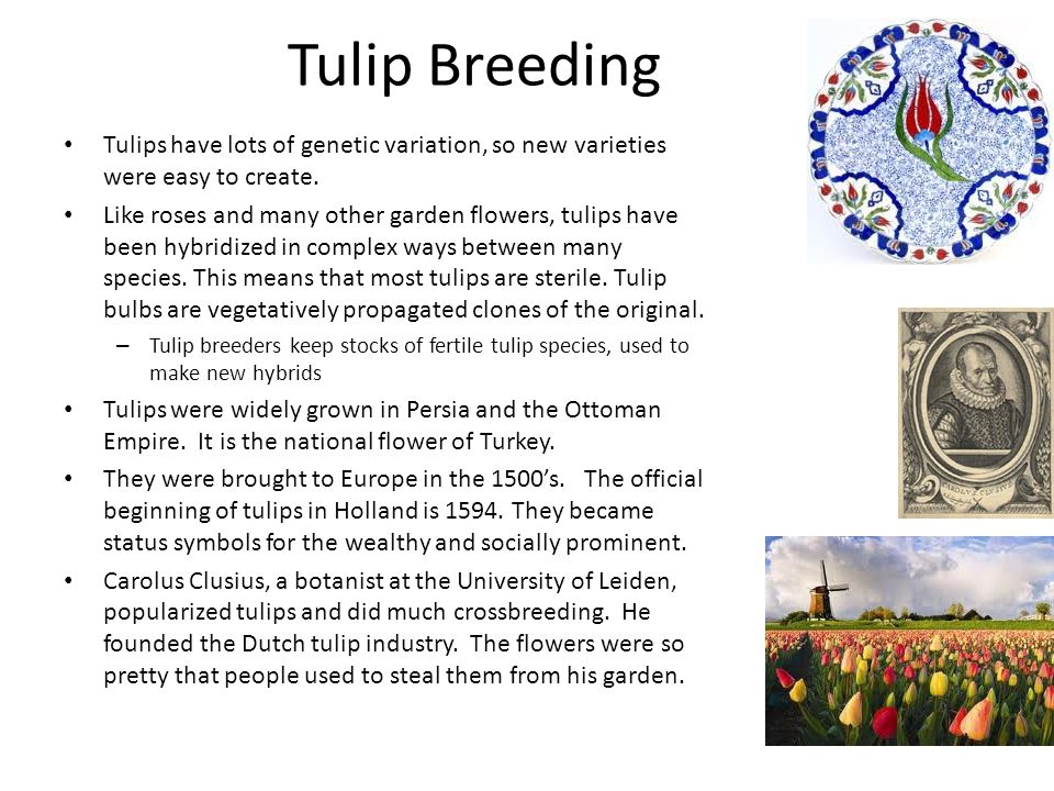 Tulip Breeding Tulips have lots of genetic variation, so new varieties were easy to create.