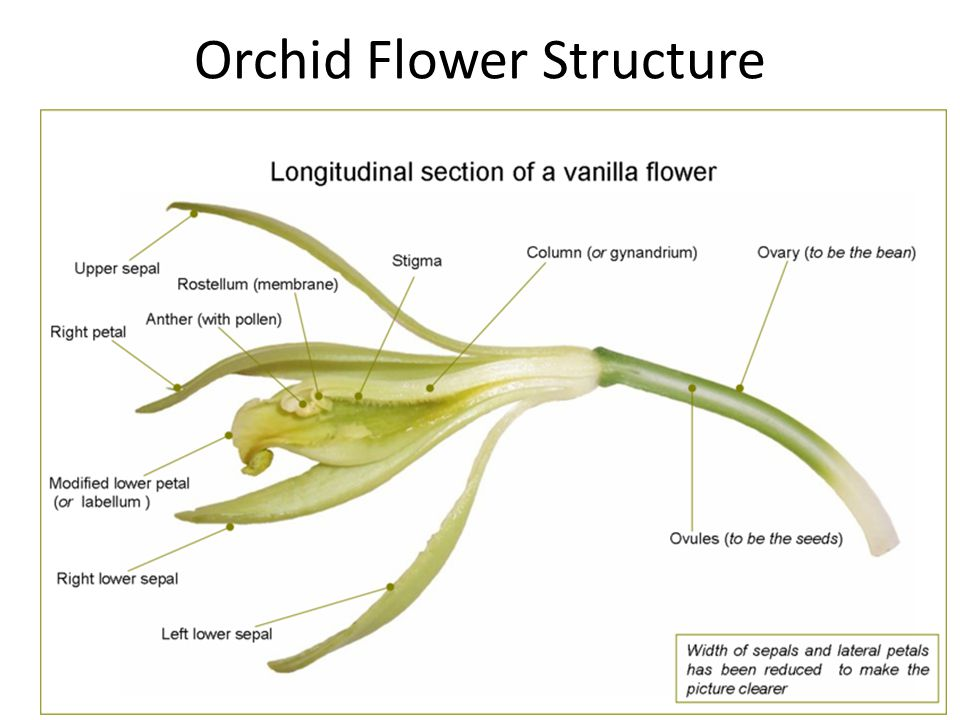 Orchid Flower Structure