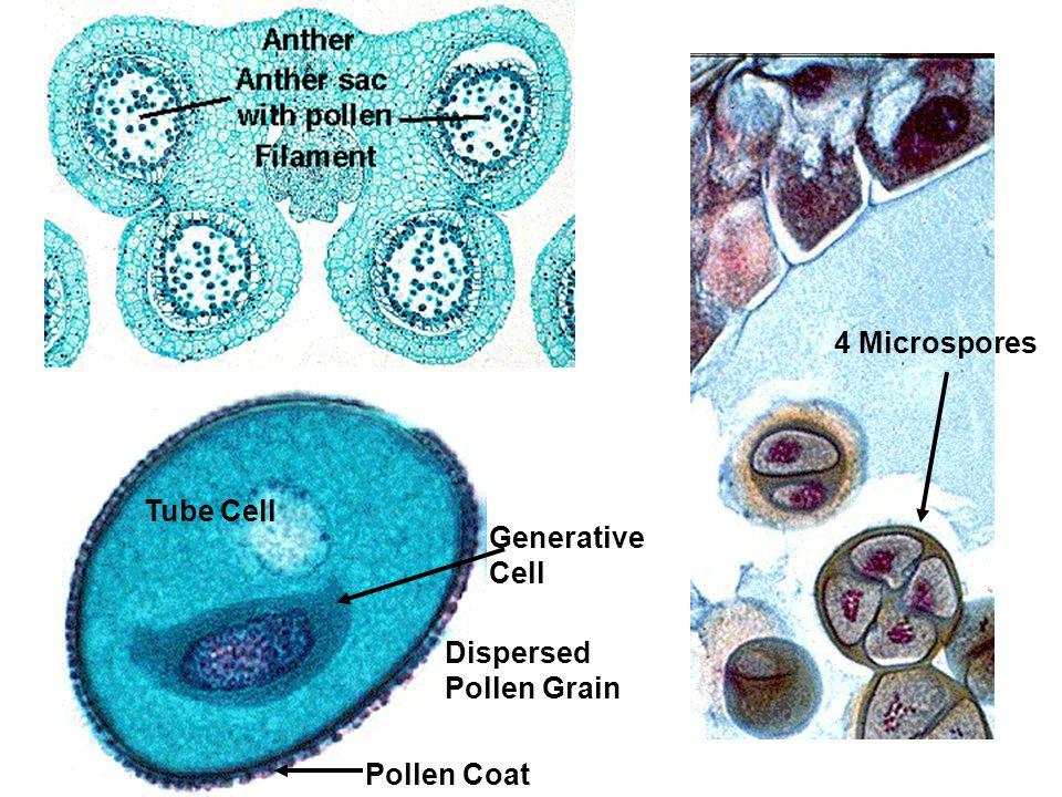 Dispersed Pollen Grain Generative Cell Tube Cell Pollen Coat 4 Microspores