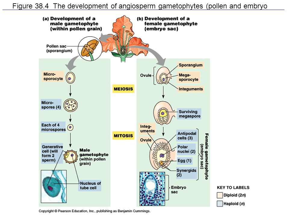 Figure 38.4 The development of angiosperm gametophytes (pollen and embryo sacs)