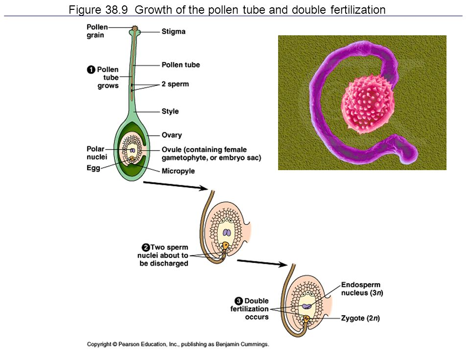Figure 38.9 Growth of the pollen tube and double fertilization