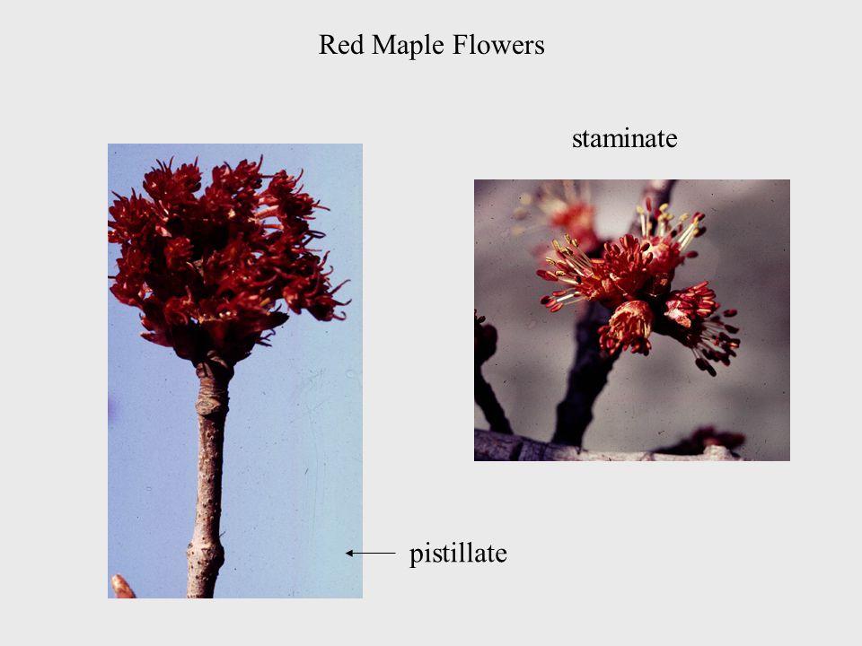 Red Maple Flowers staminate pistillate
