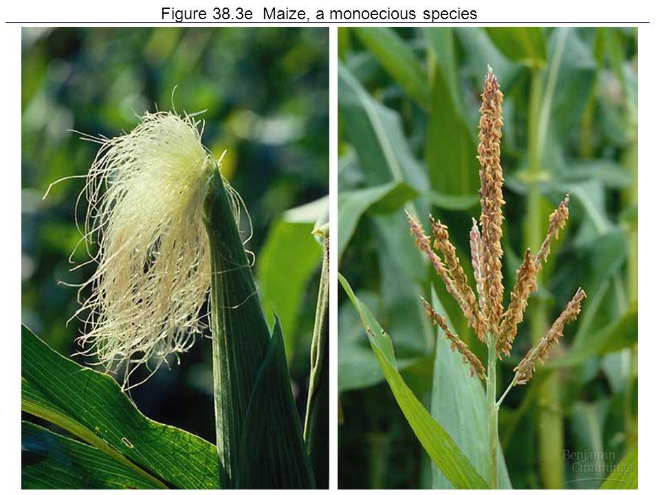 Figure 38.3e Maize, a monoecious species