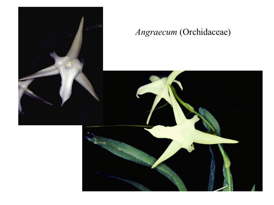 Angraecum (Orchidaceae)