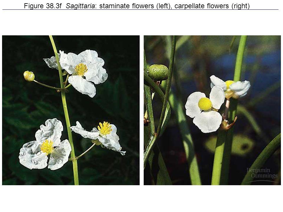 Figure 38.3f Sagittaria: staminate flowers (left), carpellate flowers (right)