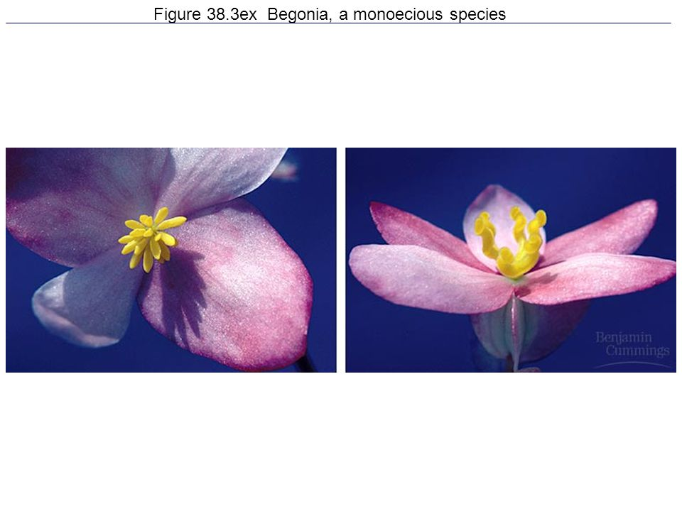Figure 38.3ex Begonia, a monoecious species