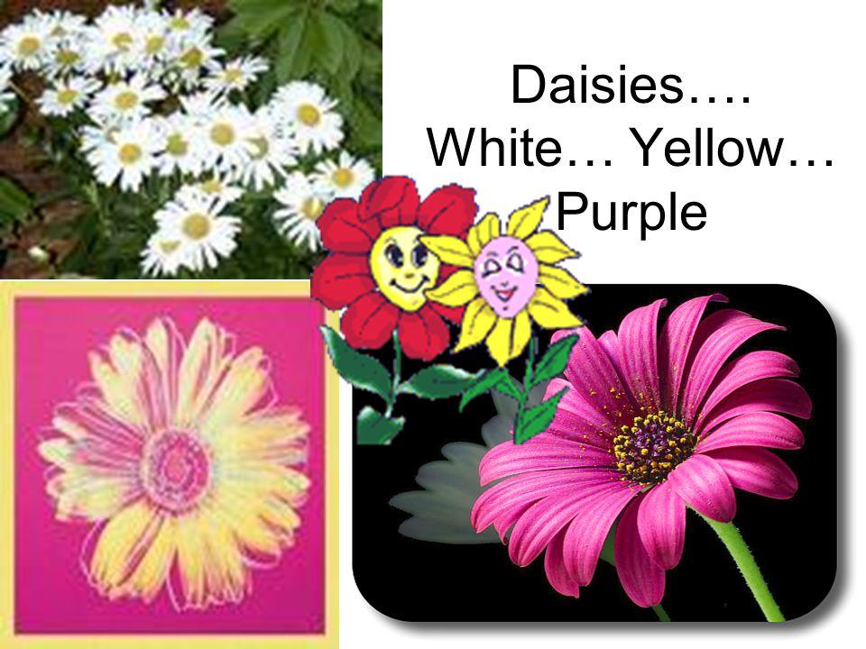 Daisies…. White… Yellow… Purple