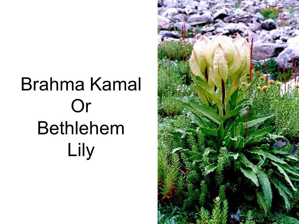 Brahma Kamal Or Bethlehem Lily