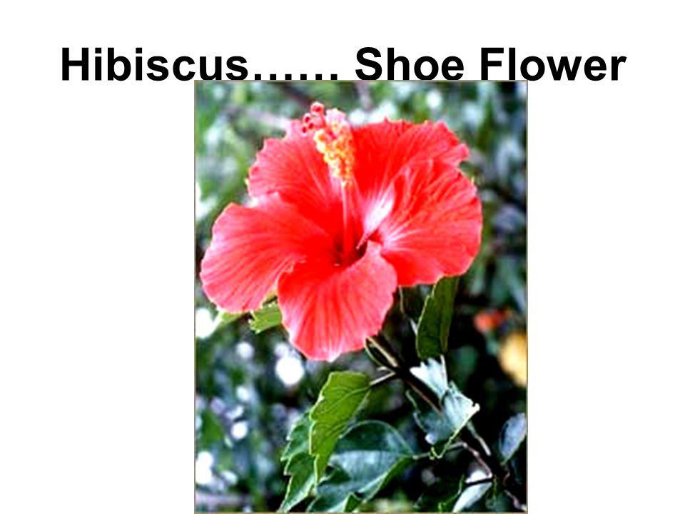 Hibiscus…… Shoe Flower