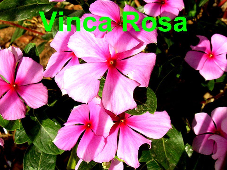 Vinca Rosa