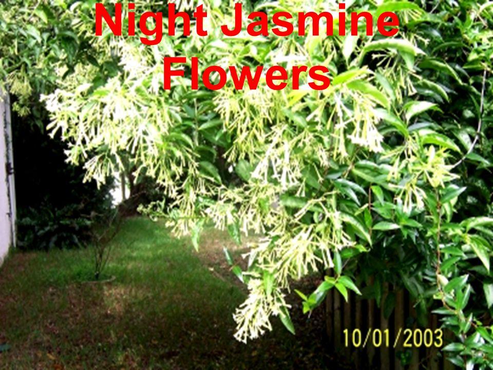 Night Jasmine Flowers