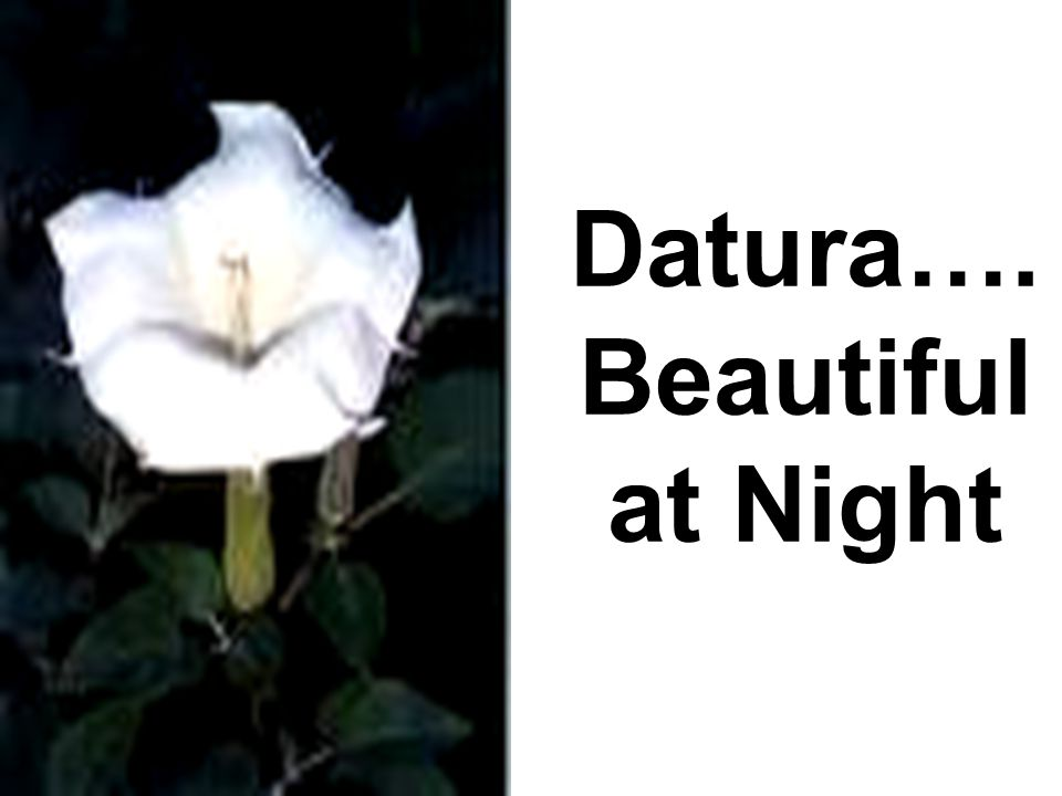 Datura…. Beautiful at Night