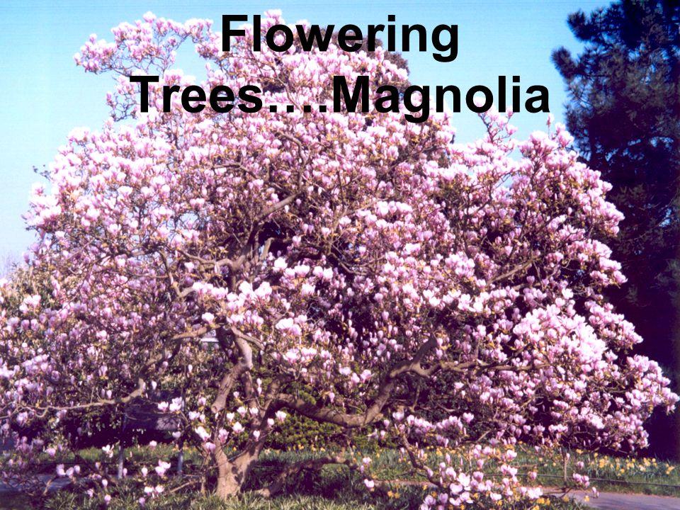 Flowering Trees….Magnolia