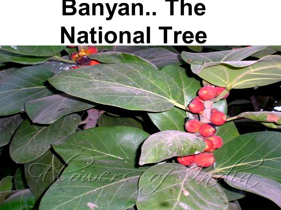 Banyan.. The National Tree