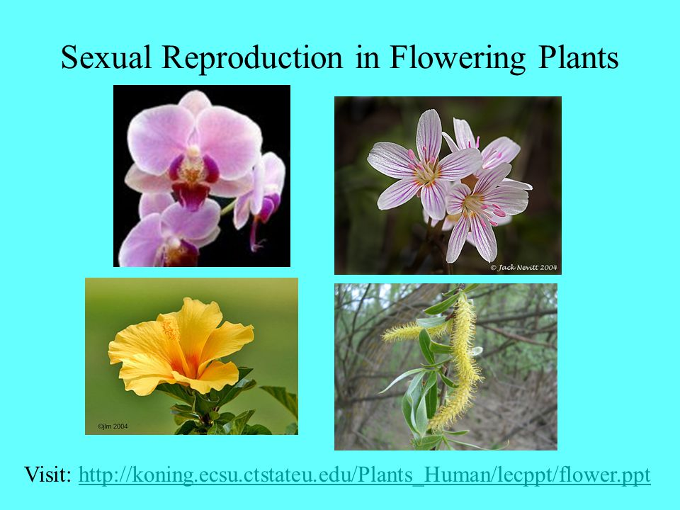 Basic Flower Structure stigma style ovary locule ovule carpel gynoecium pollen anther filamentstamen androecium petal corolla perianth sepal calyx receptacle pedicel Perianth is complete Flower is perfect Flower is monoecious superior Flower is hypogynous Pistil is simple This longitudinal section view does not allow us to consider symmetry