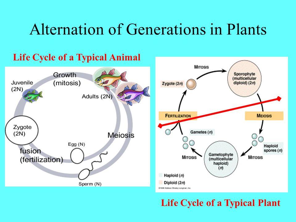 Alternation of Generations in Plants Life Cycle of a Typical Animal Life Cycle of a Typical Plant