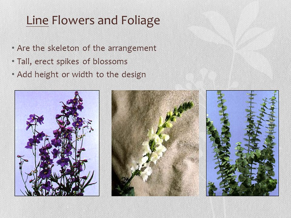Line Flowers and Foliage Are the skeleton of the arrangement Tall, erect spikes of blossoms Add height or width to the design